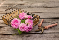 Bouquet of wild rose on basket next to the gardening shears. Bouquet of wild rose in vintage style next to the gardening shears on a wooden  table Stock Image