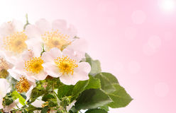 Bouquet of wild roses Stock Images