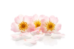 Bouquet of wild roses Royalty Free Stock Images