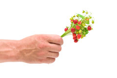 A bouquet of wild strawberries in a man's hand Royalty Free Stock Image