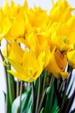 Bouquet of wild yellow tulips Stock Image