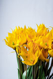 Bouquet of wild yellow tulips Royalty Free Stock Image