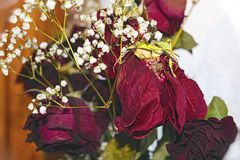 A bouquet of withered red roses Royalty Free Stock Image