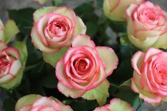 A Bouquet of wonderful pink Roses Royalty Free Stock Images