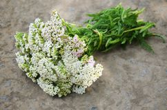 Bouquet of yarrow stock photography