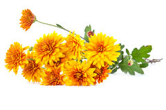 Bouquet of yellow asters Royalty Free Stock Photo
