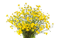 Bouquet of yellow buttercaps isolated a white background. Royalty Free Stock Photo