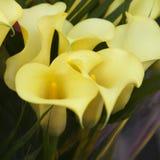 Bouquet of yellow calla lilies. Stock Photos
