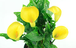 Bouquet of yellow Calla Lily, Stock Image