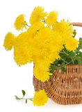 Bouquet of yellow chrysanthemums in basket Stock Photos