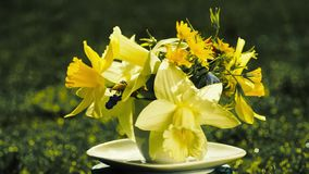 Bouquet of yellow daffodils. Rotates on nature in a small coffee cup instead of a vase. concept of holiday greeting card, time to drink coffee stock video footage