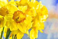 Bouquet of yellow daffodils close up. Backlit Royalty Free Stock Photography