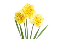 Bouquet of yellow daffodils on white background royalty free stock images