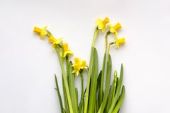 Bouquet of yellow daffodils or narcissus stock images