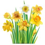 Bouquet of yellow daffodils on stock illustration