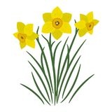 Bouquet of yellow daffodils on a white background. It can be used as an design element in projects and compositions. Vector illustration Stock Photography