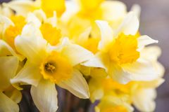 Bouquet of yellow daffodils in a white vase on a wooden table outdoor. Close-up stock photo