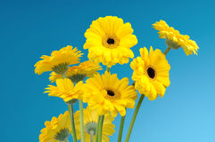 Bouquet of yellow daisies Stock Photos