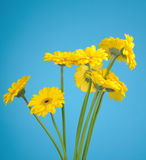 Bouquet of yellow daisies Royalty Free Stock Images