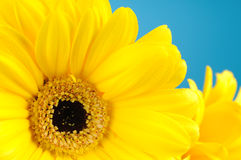 Bouquet of yellow daisies Stock Images