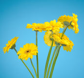Bouquet of yellow daisies Royalty Free Stock Photography