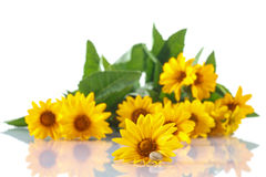 Bouquet of yellow daisies with a snail Royalty Free Stock Image