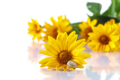 Bouquet of yellow daisies with a snail Royalty Free Stock Images