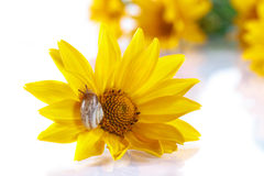 Bouquet of yellow daisies with a snail Royalty Free Stock Photos