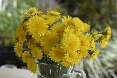 Bouquet of yellow dandelions royalty free stock photos