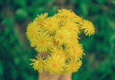 Bouquet of yellow dandelions stock image