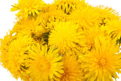 Bouquet of yellow dandelions Royalty Free Stock Images