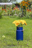 Bouquet of yellow gerbera daisies in blue bucket Royalty Free Stock Image