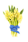 Bouquet of yellow hyacinths decorated with blue ribbon. Isolated over white Royalty Free Stock Images