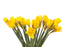 Bouquet of yellow lent lily (daffodil) isolated on white. Background royalty free stock image