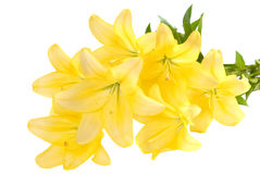 Bouquet of yellow lilies. Royalty Free Stock Image