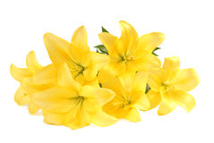 Bouquet of yellow lilies on white Stock Images