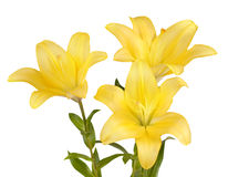 Bouquet of yellow lilies Royalty Free Stock Photo