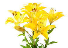 Bouquet of yellow lilies. Isolated on white background Royalty Free Stock Images