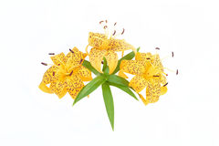 Bouquet of yellow lily on white background. Stock Photo