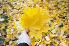 Bouquet of yellow maple leaves in hand royalty free stock photo