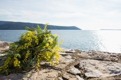 Bouquet of yellow mimosa flowers lies on the beach, on the rocks. Sunny day, the sea, Europe Stock Image