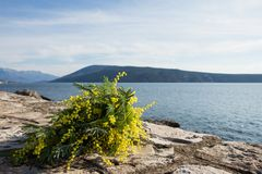 Bouquet of yellow mimosa flowers lies on the beach, on the rocks. Sunny day, the sea, Europe Royalty Free Stock Images