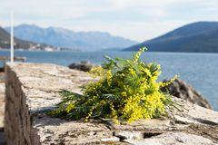 Bouquet of yellow mimosa flowers lies on the beach, on the rocks. Sunny day, the sea, Europe Royalty Free Stock Photo