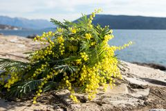 Bouquet of yellow mimosa flowers lies on the beach, on the rocks. Sunny day, the sea, Europe Royalty Free Stock Image