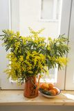 Bouquet of yellow Mimosa in an orange teapot on a wooden windowsill and a Mandarin saucer on a white window background close-up, stock photo