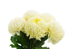 Bouquet of yellow mums close up Stock Image