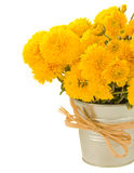 Bouquet of yellow mums in pot Royalty Free Stock Photos