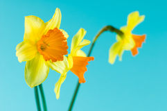 Bouquet of yellow narcissus Royalty Free Stock Photo