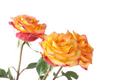 Bouquet of yellow-orange roses Stock Photos