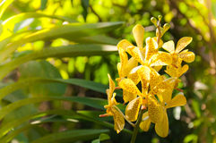 Bouquet of yellow orchids flower close up under natural lighting outdoor Royalty Free Stock Image